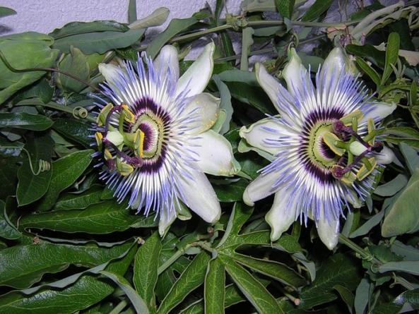 Пассифлора (Passifloraceae): применение и рецепты, полезные лечебные свойства