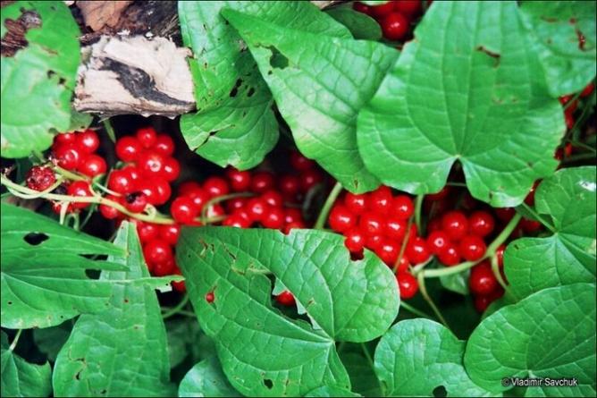 Адамов корень (Tamus communis)