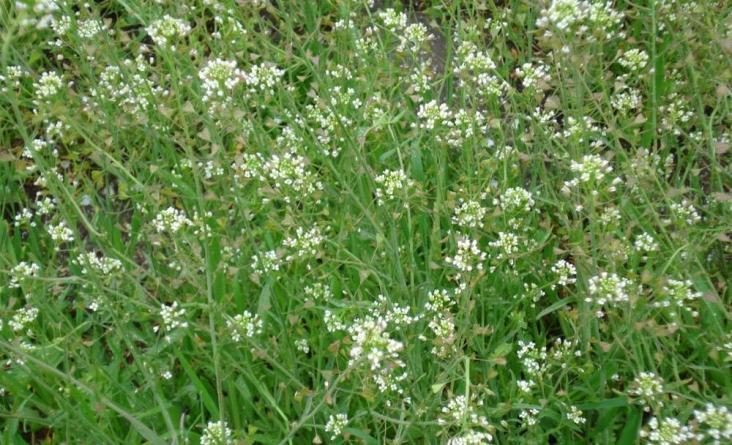 Трава пастушья сумка: применение и рецепты